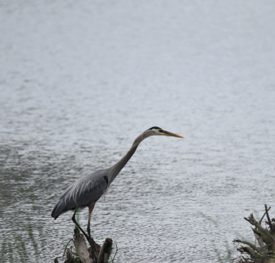 Photo of Great Blue Heron as Sky Darkens on NaturalCrooksDotCom