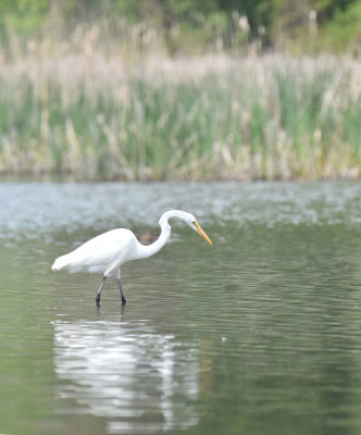 Photo of Great Egret Arch On NaturalCrooksDotCom