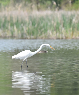 Photo of Great Egret Curve On NaturalCrooksDotCom