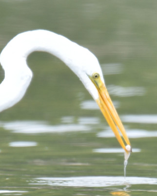 Photo of Great Egret Fish Rattray May on NaturalCrooksDotCom