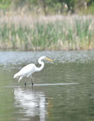 Photo of Great Egret Fish on NaturalCrooksDotCom