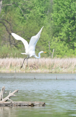 Photo of Great Egret Flying Rattray May on NaturalCrooksDotCom