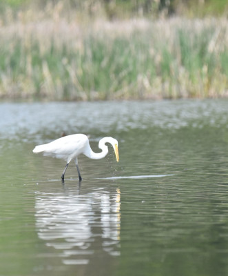Photo of Great Egret Lunge on NaturalCrooksDotCom
