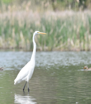 Photo of Great Egret Straight on NaturalCrooksDotCom