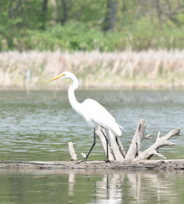 Photo of Great Egret on Log Rattray May on NaturalCrooksDotCom