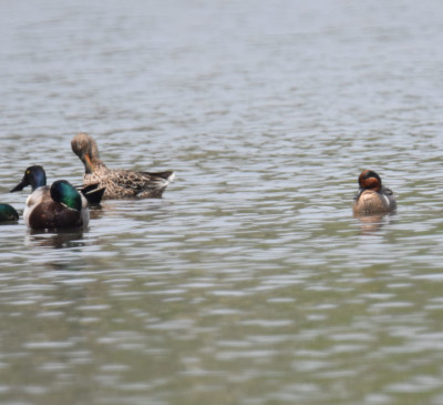 Photo of Green Winged Teal Shovelers Mallards Rattray May on NaturalCrooksDotCom