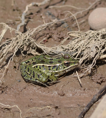 Photo of Leopard Frog 16 mile creek on NaturalCrooksDotCom