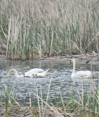 Photo of Mute Swans with Cygnets Rattray May on NaturalCrooksDotCom