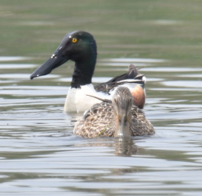 Photo of Northern Shoveler Pair Rattray May On NaturalCrooksDotCom