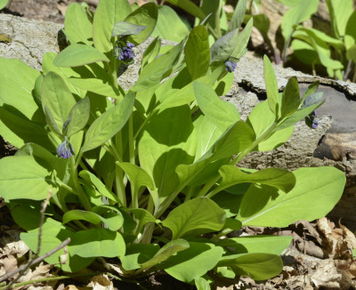 Photo of Virginia Bluebells Leaves on NaturalCrooksDotCom