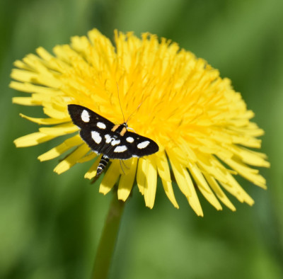 Photo of White Spotted Sable On Dandelion On NaturalCrooksDotCom
