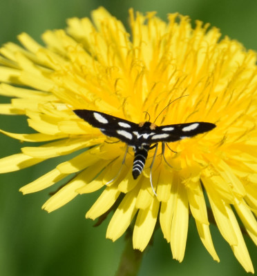 Photo of White Spotted Sable On Dandelion Showing Abdomen On NaturalCrooksDotCom