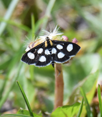 Photo of White Spotted Sable on Short Flower on NaturalCrooksDotCom