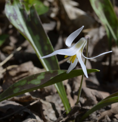 Photo of White Trout Lily Single on NaturalCrooksDotCom