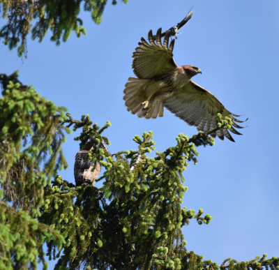 Photo of 2 Red Tailed Hawks Spruce Blue Jay on NaturalCrooksDotCom