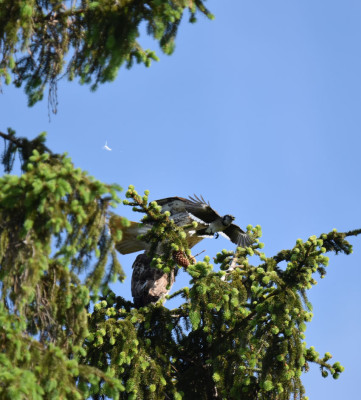 Photo of 2 Red Tailed Hawks Spruce Feather Flying Blue Jay on NaturalCrooksDotCom