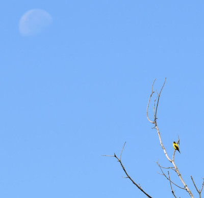 Photo of American Goldfinch and the Moon on NaturalCrooksDotCom
