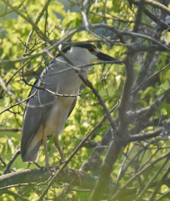 Photo of Black Crowned Night Heron Near Dragonfly Crossing on NaturalCrooksDotCom