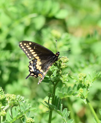 Photo of Black Swallowtail Plant Rattray On NaturalCrooksDotCom