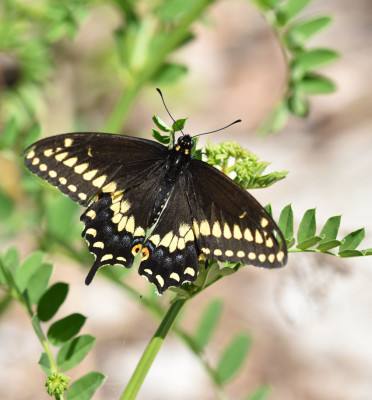 Photo of Black Swallowtail Warrior Rattray On NaturalCrooksDotCom