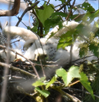 Photo of Coopers Hawk Chicks Wings Up Rattray On NaturalCrooksDotCom
