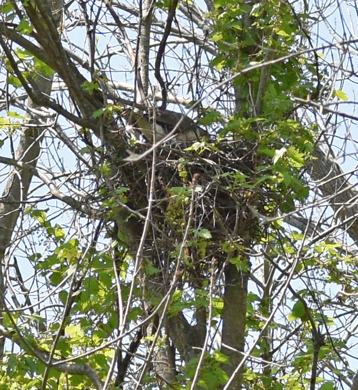 Photo of Coopers Hawk on Nest Rattray on NaturalCrooksDotCom