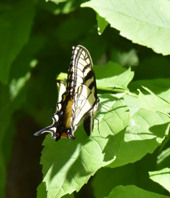 Photo of Eastern Tiger Swallowtail Possibly Laying Egg on NaturalCrooksDotCom