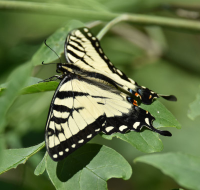 Photo of Eastern Tiger Swallowtail on Leaves on NaturalCrooksDotCom