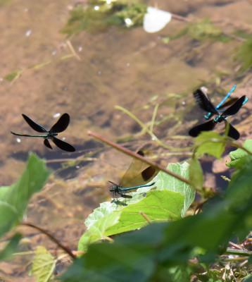 Photo of Ebony Jewelwing 3 Males Around River Jewelwing Male Perched on NaturalCrooksDotCom