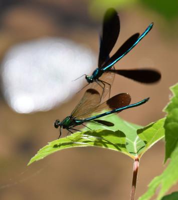 Photo of Ebony Jewelwing Chasing Up River Jewelwing on NaturalCrooksDotCom