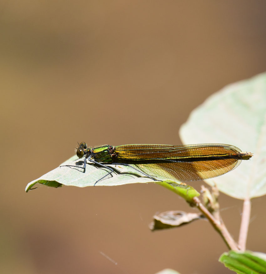 Black winged dragonfly - photo#21
