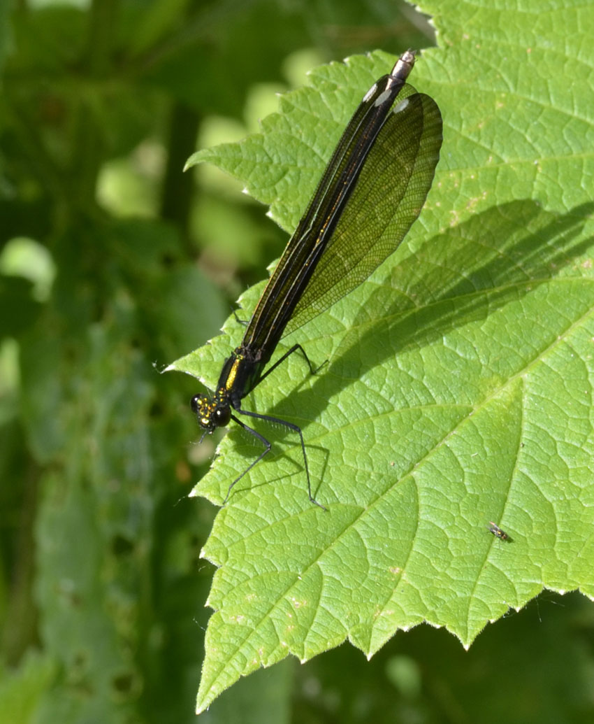 Black winged dragonfly - photo#15