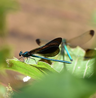 Photo of Ebony Jewelwing In front River Jewelwing Behind on NaturalCrooksDotCom