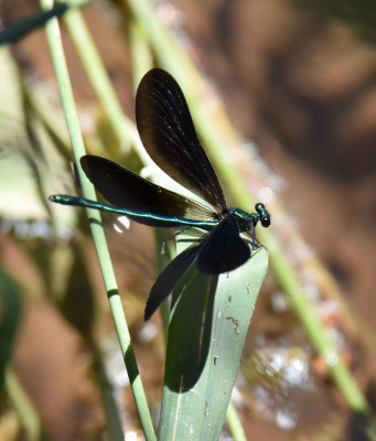 Photo of Ebony Jewelwing Male 4 Wings Perched 16 on NaturalCrooksDotCom
