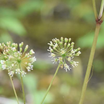 Photo of False Sarsaparilla Three Blooms Rattray Marsh on NaturalCrooksDotCom