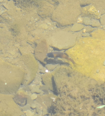 Photo of Fish Guarding Territory Rattray On NaturalCrooksDotCom