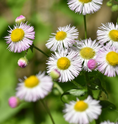 Photo of Fleabane Rattray On NaturalCrooksDotCom