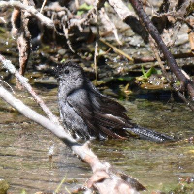 Photo of Grey Catbird Taking a Bath On NaturalCrooksDotCom