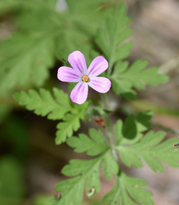 Photo of Herb Robert Rattray On NaturalCrooksDotCom