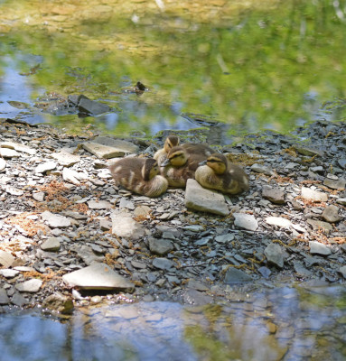 Photo of Mallards 4 Ducklings Rattray on NaturalCrooksDotCom