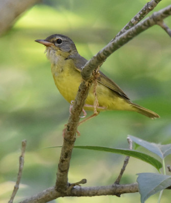 Photo of Mourning Warbler Not Adult Male on NaturalCrooksDotCom