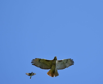 Photo of Red Tailed Hawk Pursued A on NaturalCrooksDotCom