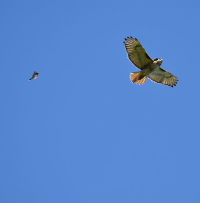 photo of Red Tailed Hawk Pursued C on NaturalCrooksDotCom