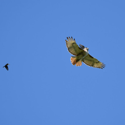 Photo of Red Tailed Hawk Pursued D on NaturalCrooksDotCom