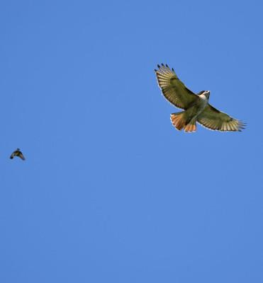 Photo of Red Tailed Hawk Pursued E on NaturalCrooksDotCom