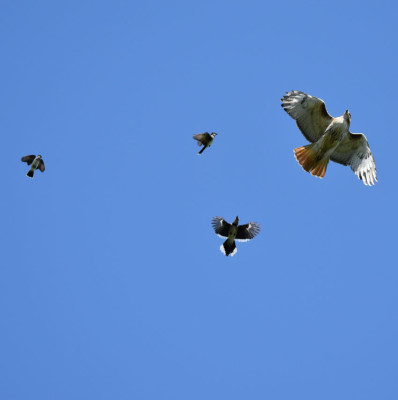 Photo of Red Tailed Hawk Pursued G on NaturalCrooksDotCom