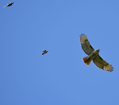 Photo of Red Tailed Hawk Pursued H on NaturalCrooksDotCom
