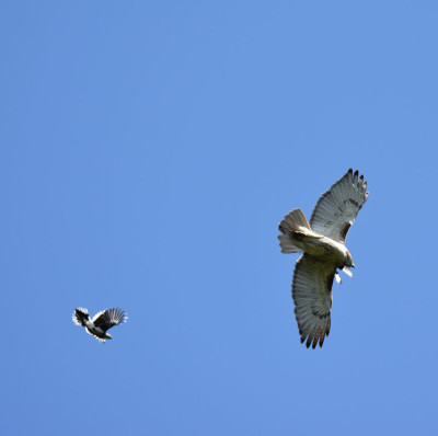 Photo of Red Tailed Hawk Pursued J on NaturalCrooksDotCom