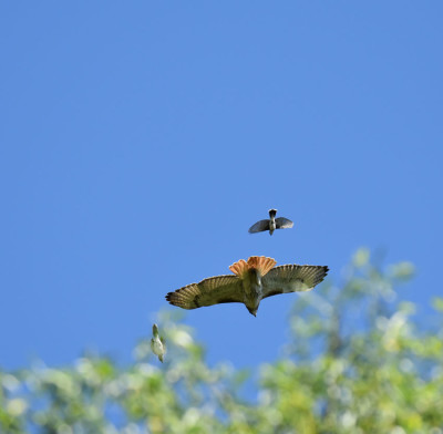Photo of Red Tailed Hawk Pursued L on NaturalCrooksDotCom