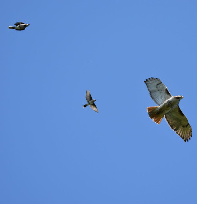 Photo of Red Tailed Hawk Pursued i on NaturalCrooksDotCom